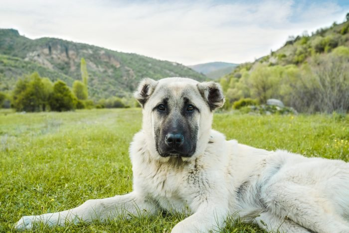 Anatolian shepherd dog sitting in grass