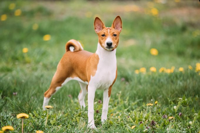 Basenji Dog standing outside in the grass
