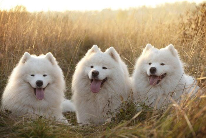 Три самоедских собаки сидят в поле