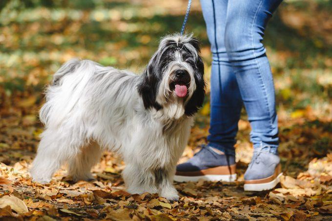 close up of Tibetan terrier dog on a walk