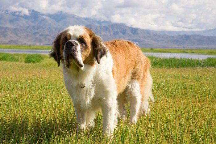 large St. Bernard dog in a field