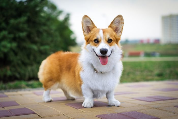 Portrait of Pembroke Welsh Corgi dog outdoors in the park on a sunny summer day.