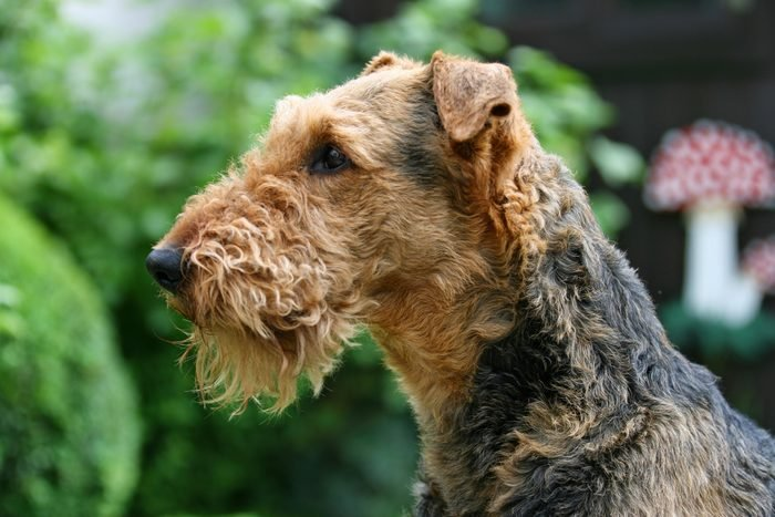 Close-Up Of Airedale terrier Dog Outdoors