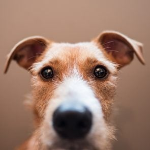 Close Up Portrait Of wire-haired Dog Against Brown Background