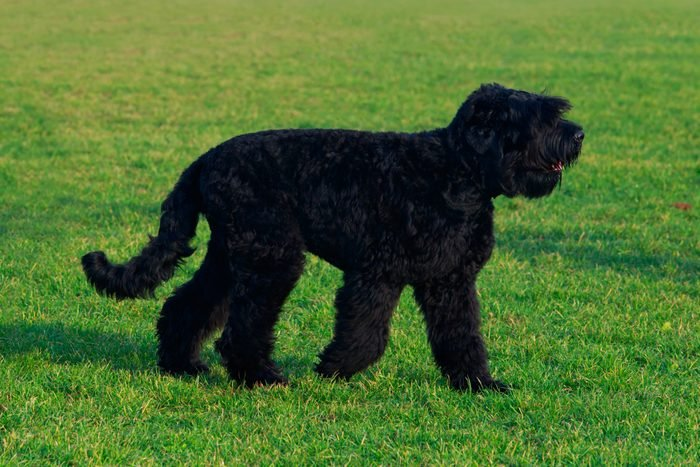 Russian Black Terrier dog standing on grass outside