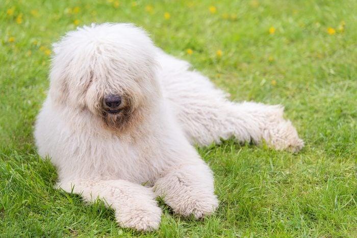 large komondor dog sitting in the park
