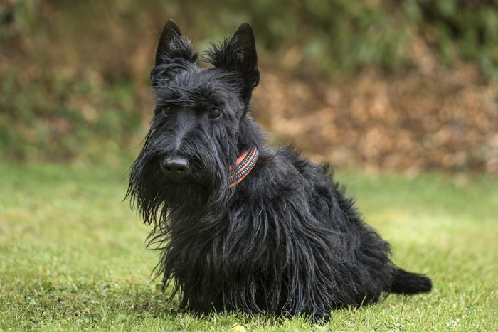 Scottish Terrier in park