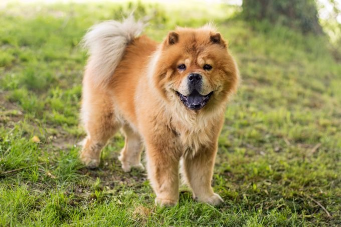 Chow Chow standing outside on grass