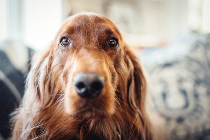 irish setter dog close up in home
