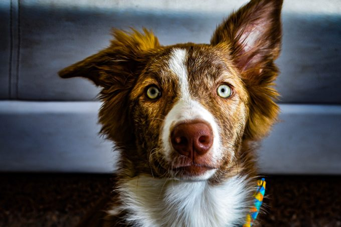 close up portrait of border collie dog at home
