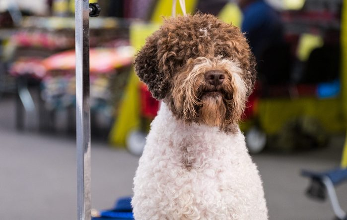 A subject of Lagotto Romagnolo waiting for the preparation of his coat on a specially placed table during a dog show