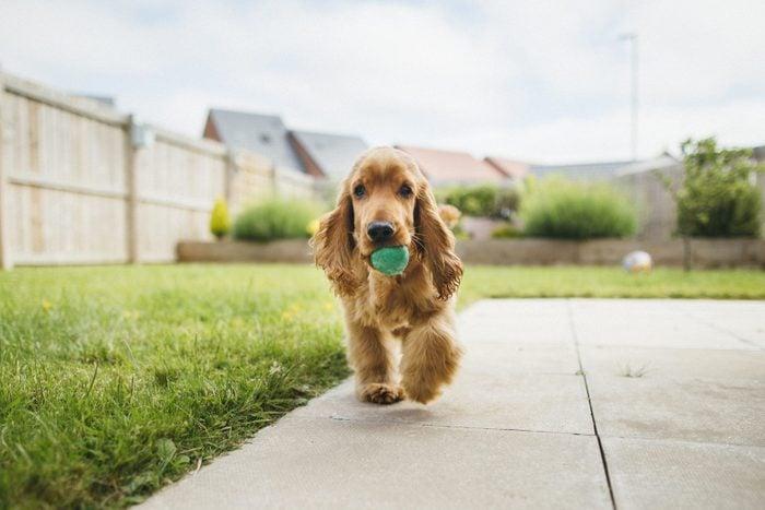 cocker spaniel Dog Playing Fetch