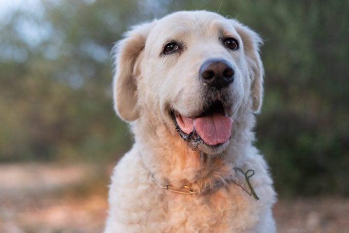 Portrait of a Kuvasz Dog
