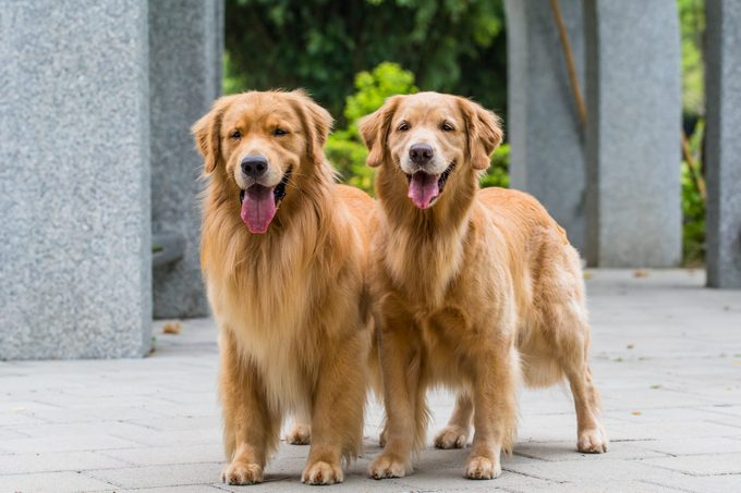 two golden retrievers standing together outside