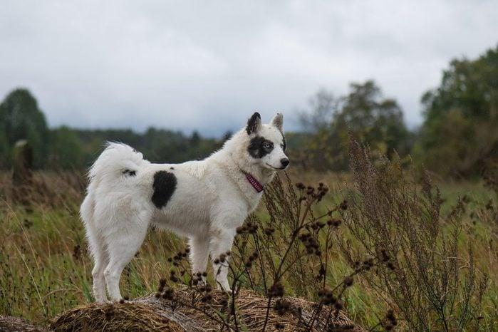Yakutian laika dog standing on hay bale