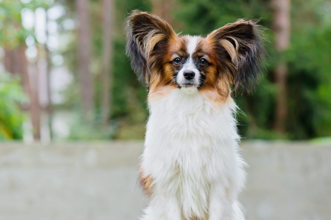 Portrait Of A Papillon Purebreed Dog With Wall Behind