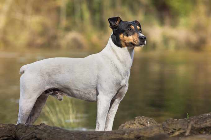 japanese terrier dog standing by the water