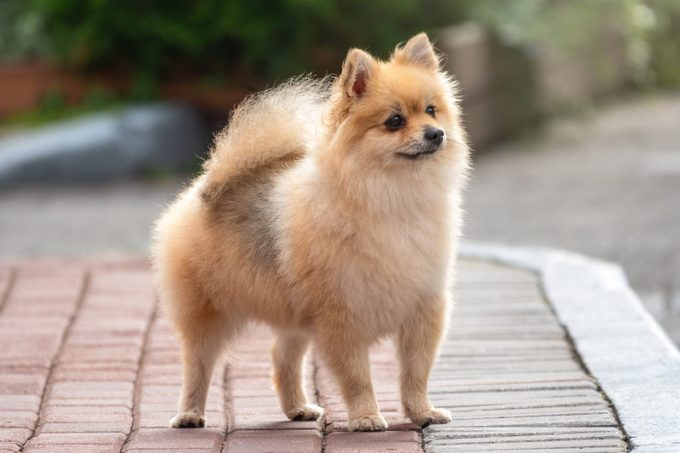 Little german spitz dog standing on the pavement outside