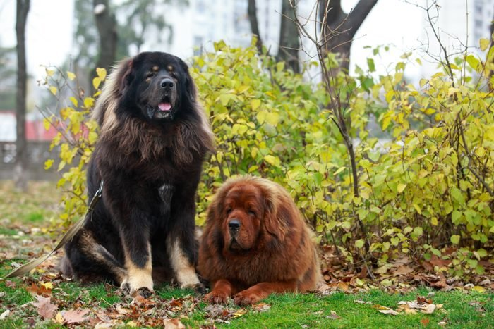 Two Tibetan Mastiffs sitting outside in the woods