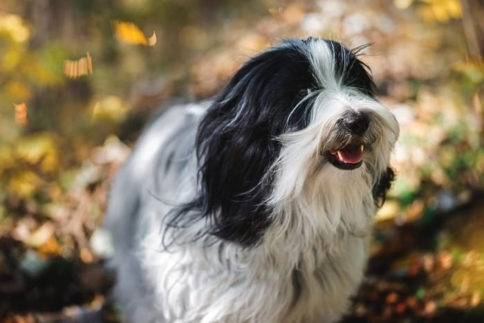 Chinese Tibetan terrier dog standing in the forest with a bunch of fallen leaves surrounding him