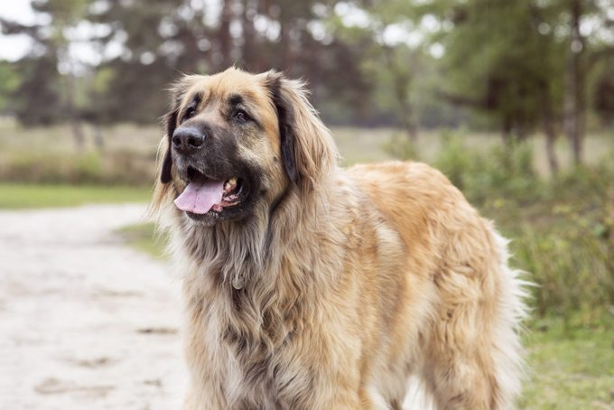 german leonberger standing on a trail in the woods