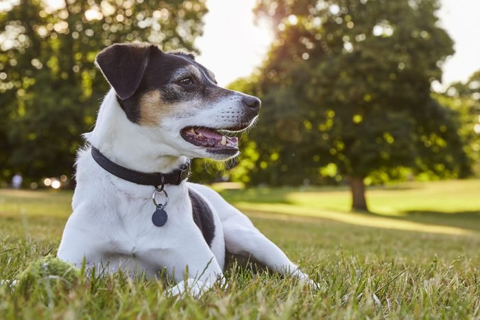 Eye level shot of a young fox terrier dog looking off camera, happily.