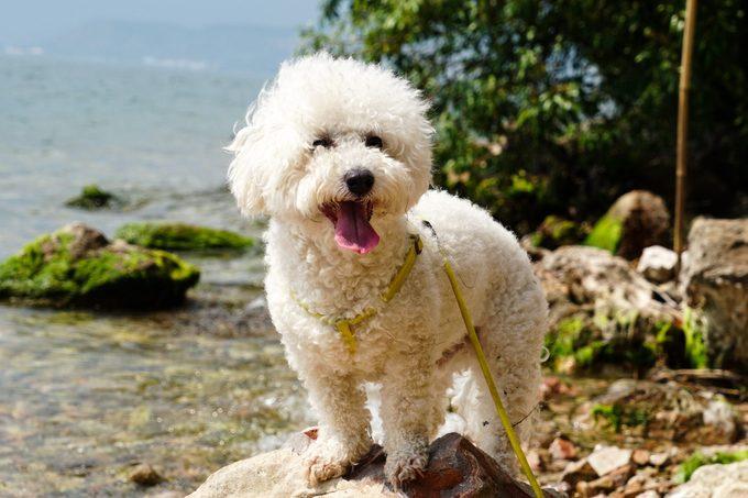 Smiling bichon frise dog near a lake
