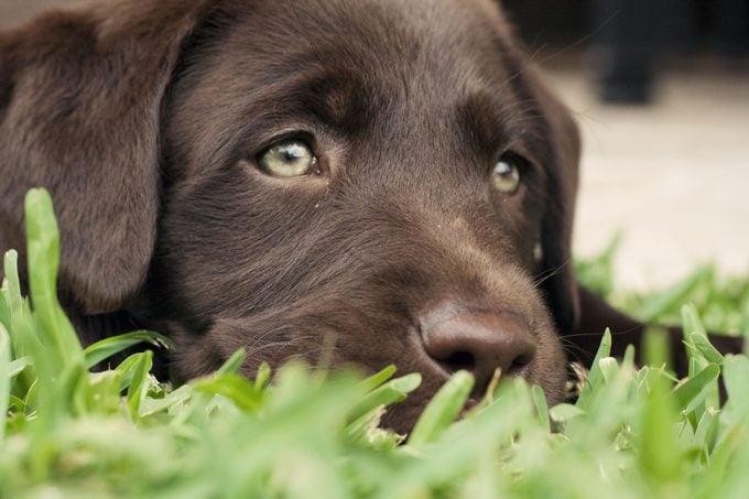 Beautiful labrador retriever puppy with stunning green eyes