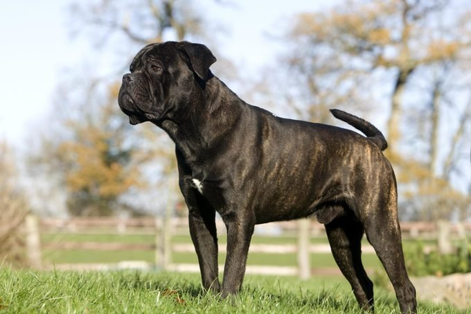 cane corso dog with brindle coat standing outsiee