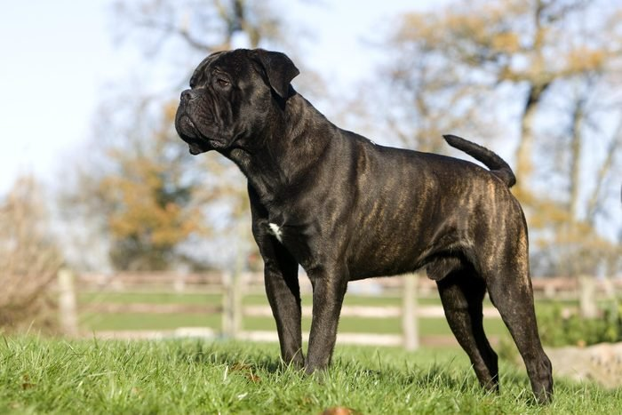 Cane Corso, a Dog Breed from Italy, Male standing on Grass