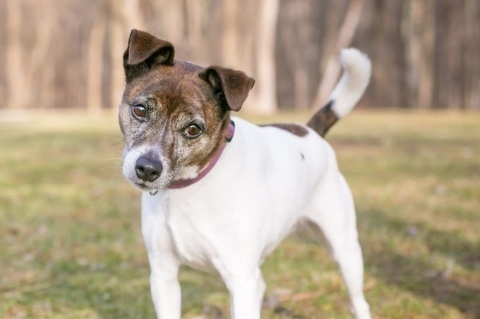 A brindle and white Jack Russell Terrier mixed breed dog looking at the camera with a head tilt