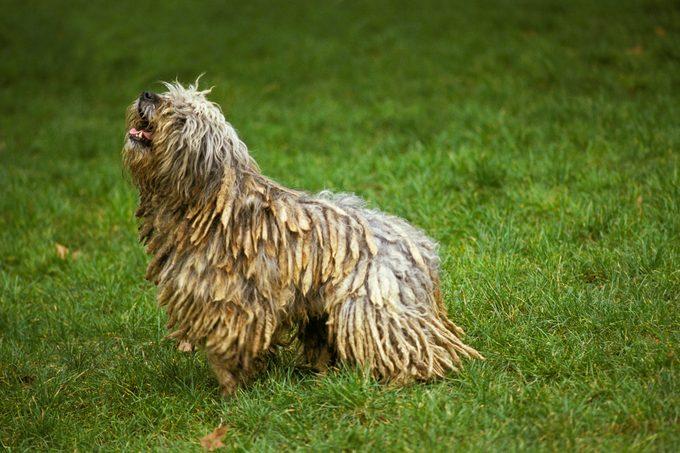 Bergamasco Sheepdog or Bergamese Shepherd, Adult standing on Grass