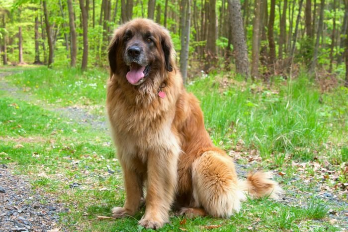 large Leonberger Dog Sitting In Forest, Giant Breed