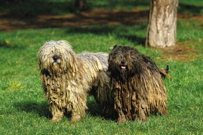 Bergamasco Sheepdog or Bergamese Shepherd 052955 Gerard LACZ Images