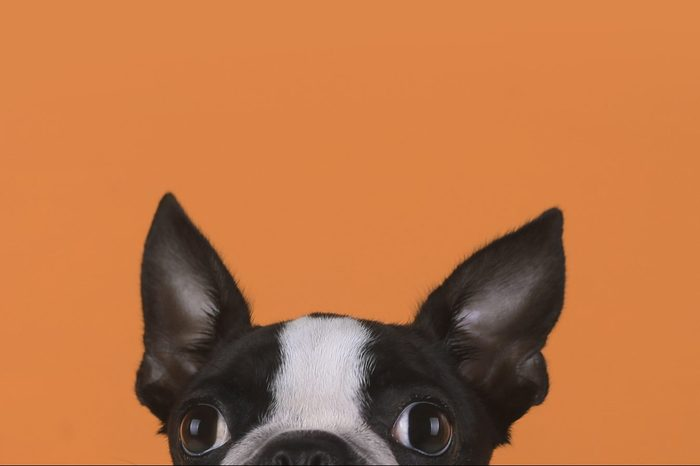 Portrait Of Boston Terrier Puppy In Front Of Orange Background