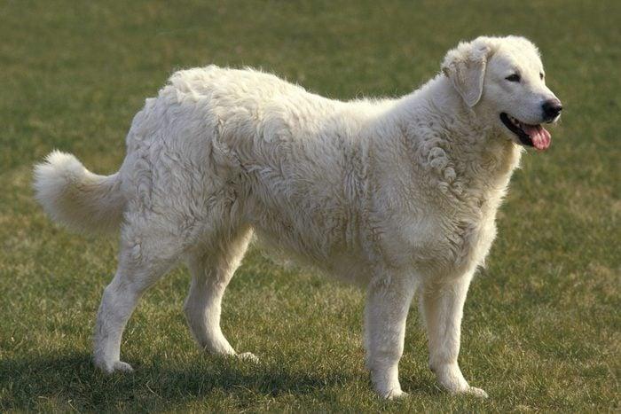 Kuvasz Dog standing outside