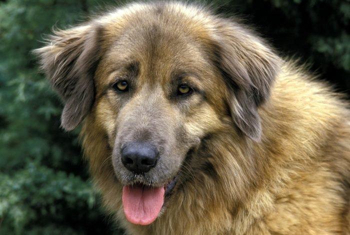 estrela mountain dog close up portrait