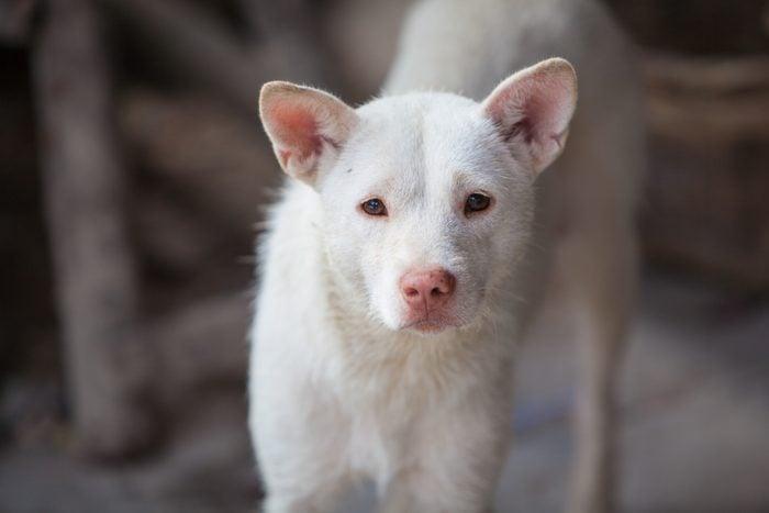 ChineseXiasi Quan dog close up