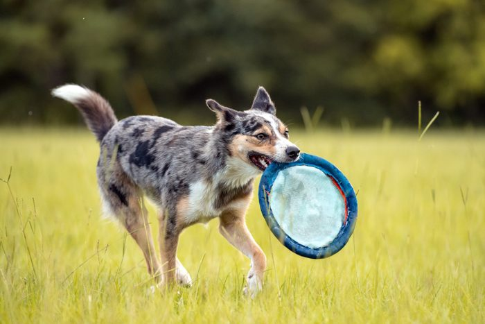 Australian Koolie dog Running in a field with a disc