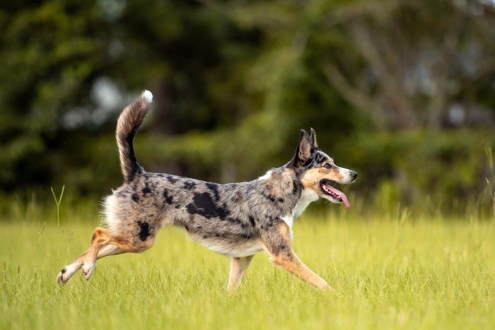 Australian Koolie dog Running and playing in a green open field
