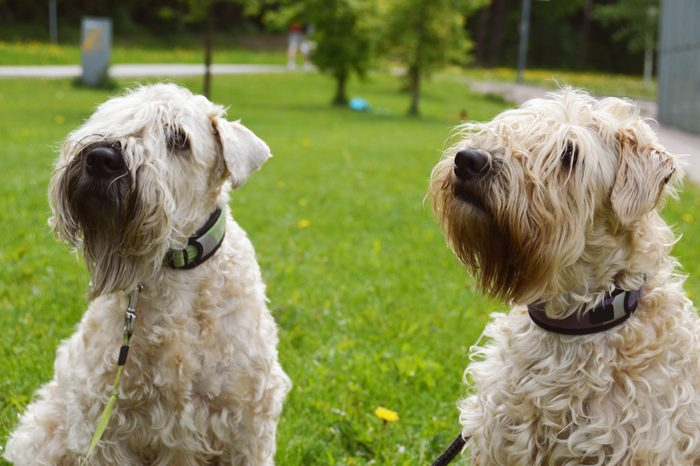 two soft-coated wheaten terriers playing outside