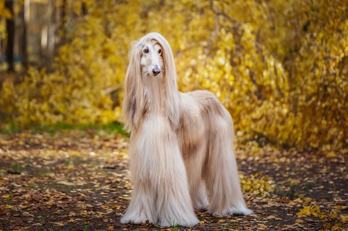 gorgeous Afghan hound, full-length portrait, against the background of the autumn forest, space for text