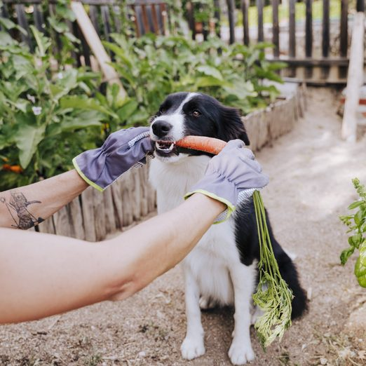 Border collie munching on a carrot