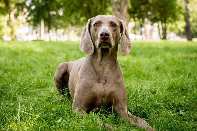 Portrait of german weimaraner dog breed at the park.