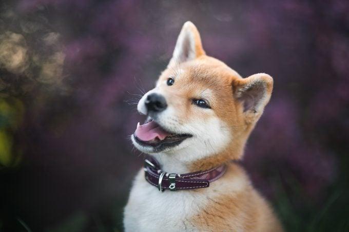 Close-Up Of Shiba Inu Dog Looking Away, Krakw, Poland