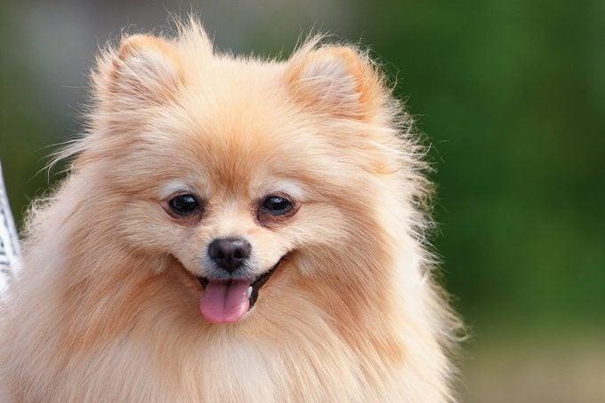 Portrait of german pomeranian dog