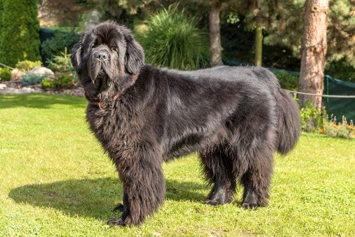 large newfoundland dog standing outside