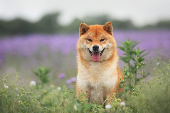 Gorgeous and happy red shiba inu dog sitting in a flower field