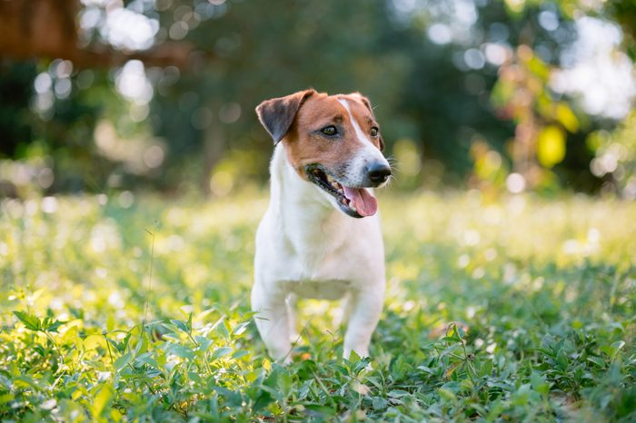 Cute young jack russell terrier pet dog with his toy enjoy outside morning time in park