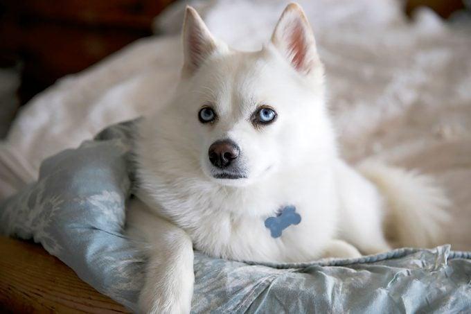 Pomsky Puppy Malibu Ca